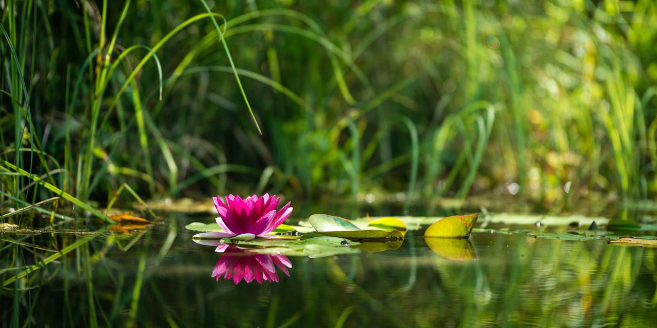 Rose-und-Teich